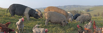 Pigs_small