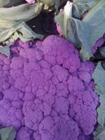 Purple cauli