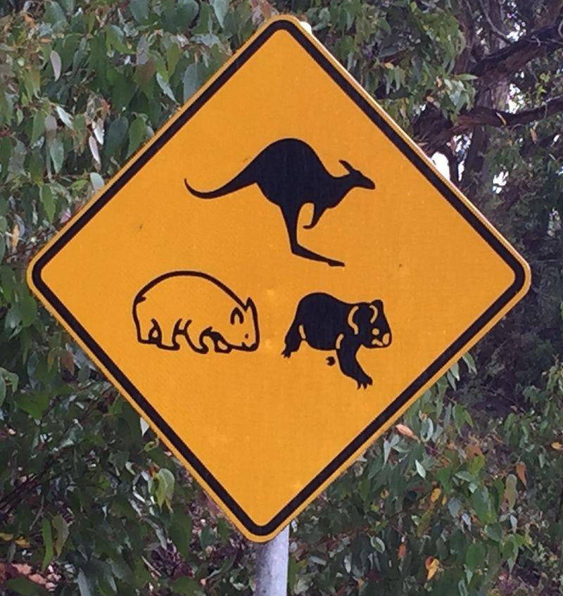 Skip wombat koala